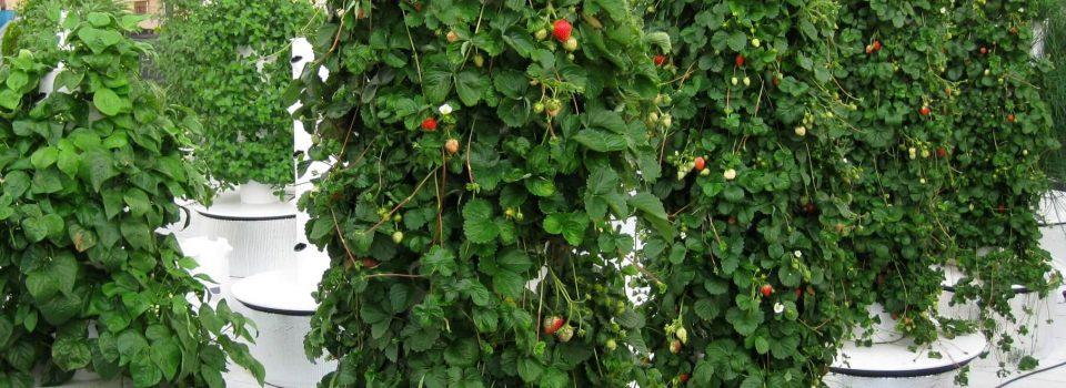 zz4-summer-2013-fresh-strawberries-used-to-garnish-deserts-and-chef-john-mooneys-summer-garden-salad-1 (1)